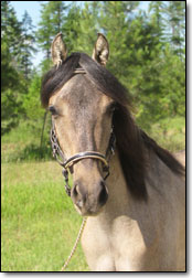 Westwind's Zapateo, a 2010 Paso Fino stud colt by Bribon. Head photo from front.